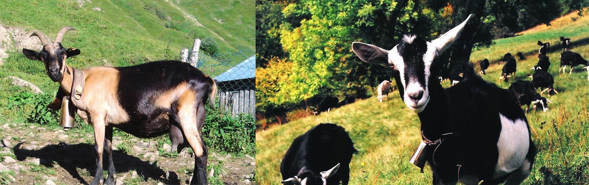 chevrette alpine a vendre